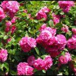 Le dimanche 3 juillet 2011, de 11 h à 18 h, la Maison Saint-Gabriel se dédie à la reine des fleurs et la célèbre avec le Dimanche ROSE