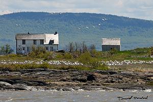 Oies blanches sur la côte de l'Isle-aux-Grues