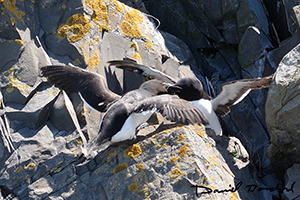Dispute de petits pingouins