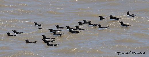 Groupe de pingouins au large du site de nidification