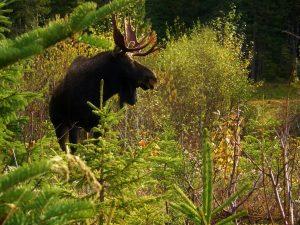 Safaris d'observation de l'orignal à la Forêt Montmorency