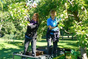 les horticultrices Solange Thivierge et Suzanne Trudel lors de la récolte de pommes annuelle de la Commission de la capitale nationale du Québec au parc du Bois-de-Coulonge.