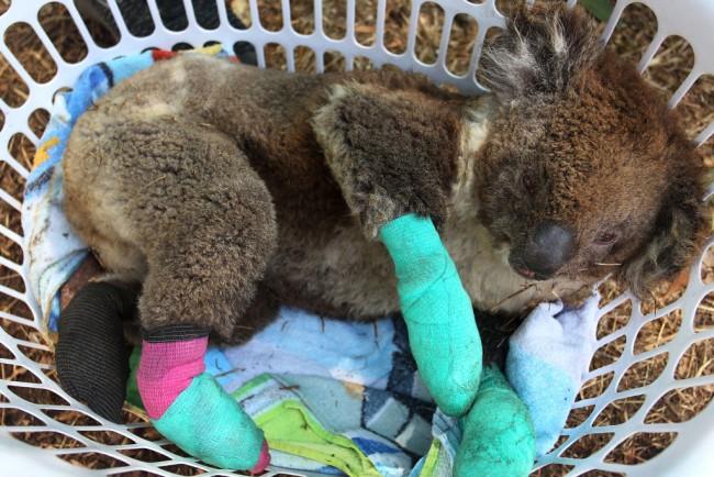Koale blesse feu de foret