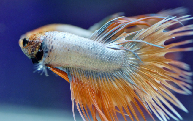 Le Betta Crowntail